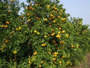 Fresh Oranges on a tree.