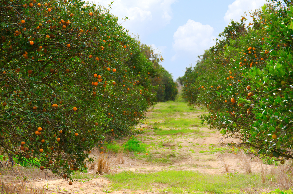 Florida Citrus Areas Showing Effects Of Dryness Citrus