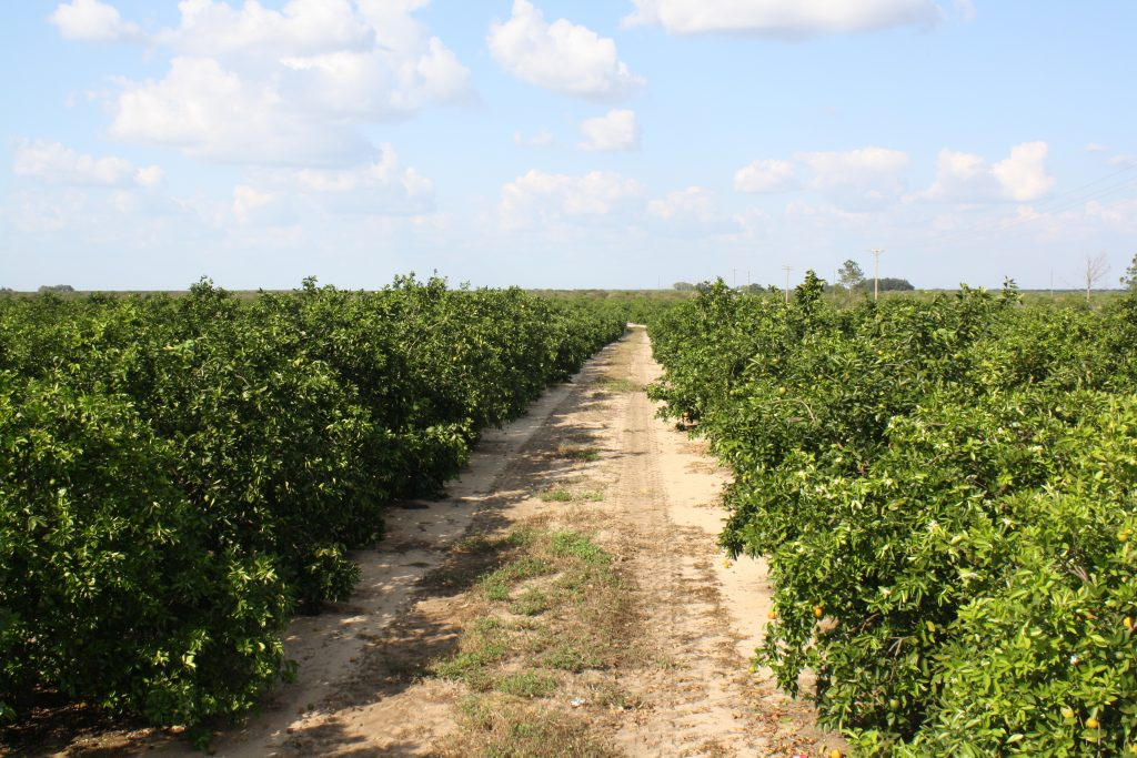florida citrus crop forecast