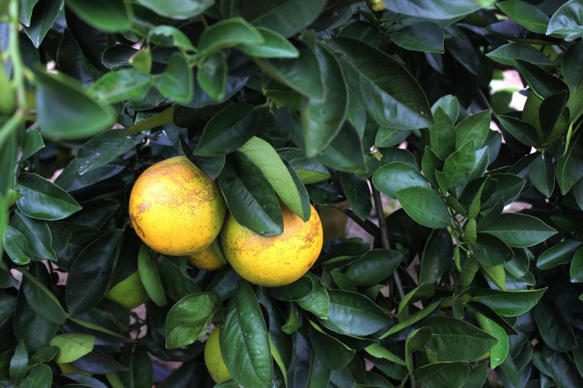 Florida citrus growers