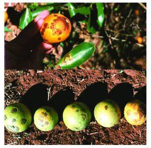 citrus leprosis