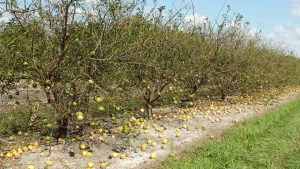 Florida Citrus Tree Recovery Program