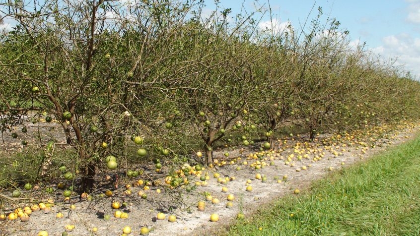 citrus growers