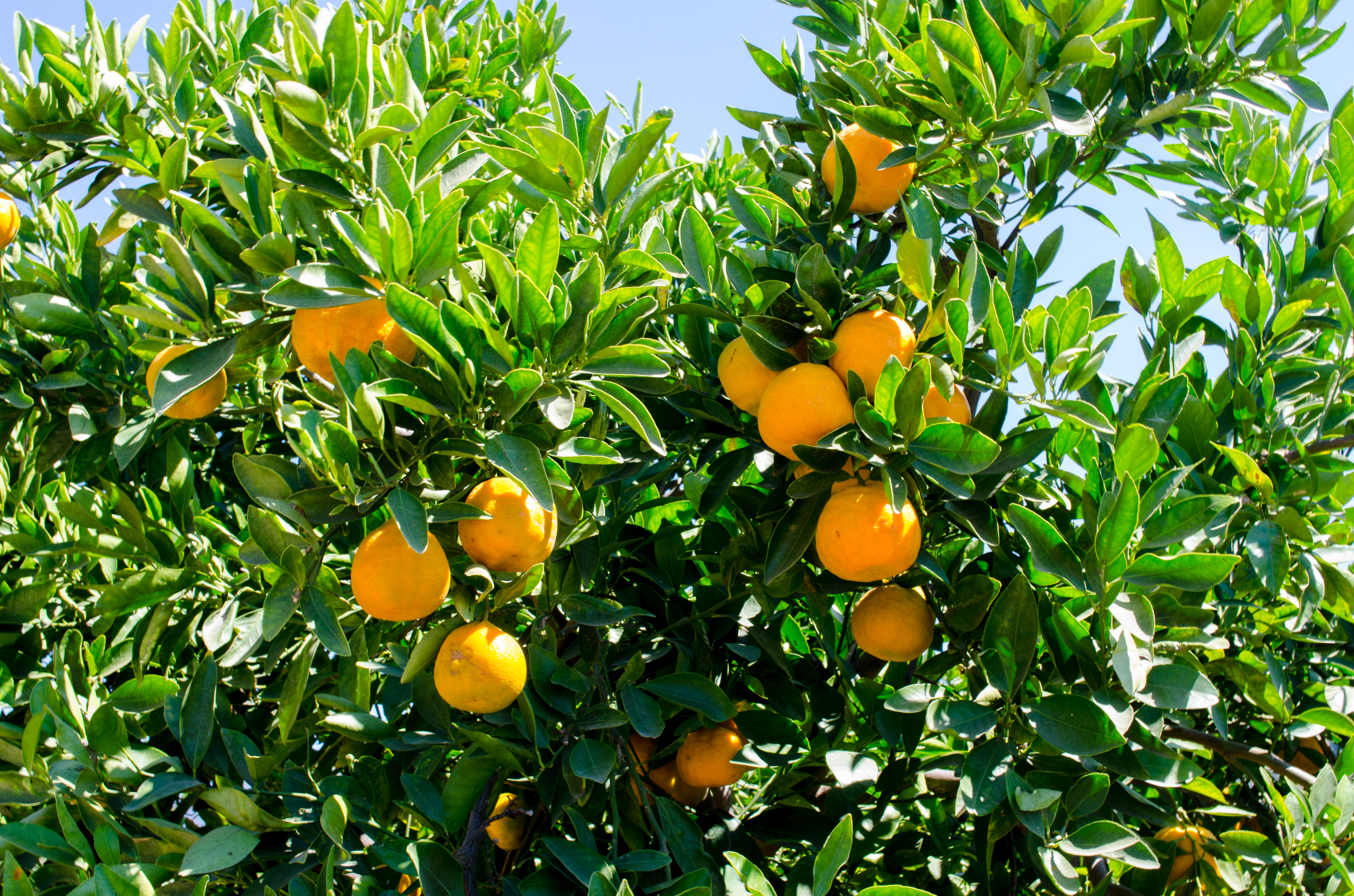 Golden Nugget Is A New Mandarin Variety Released Recently By The Ucr Citrus Collection It Was Developed As Seedless Fruit Which Eliminates