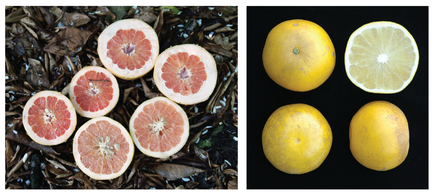 New Planting Options for Citrus Growers - Citrus Industry Magazine 8ddb716155c