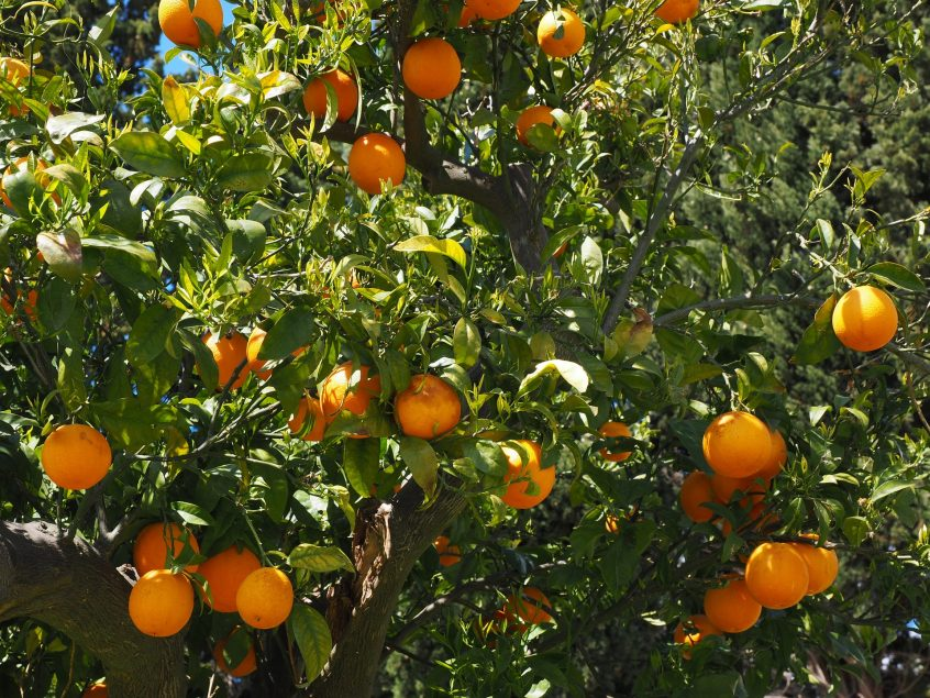 citrus soil health