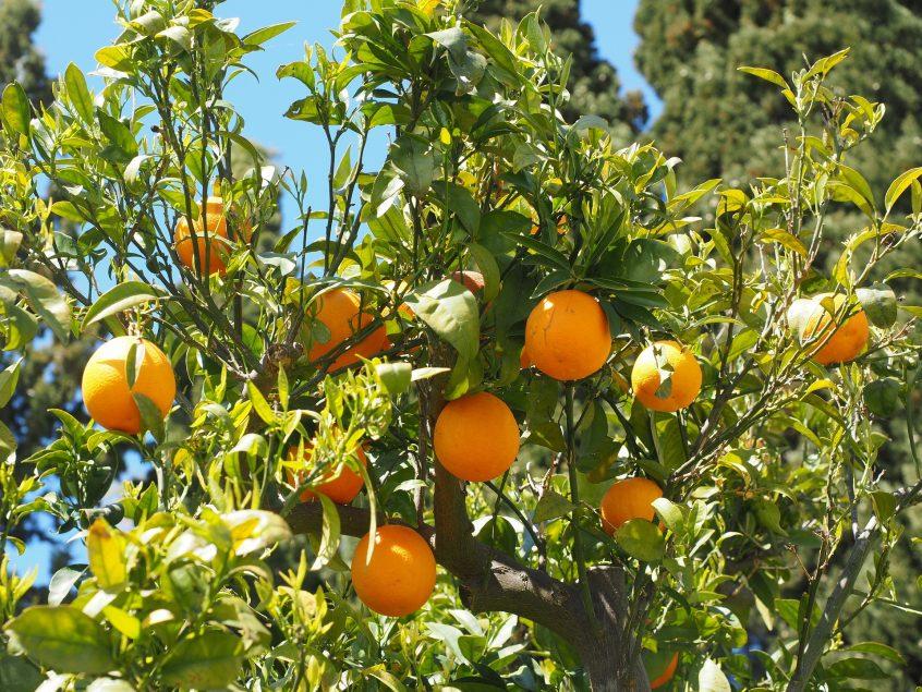 citrus crop