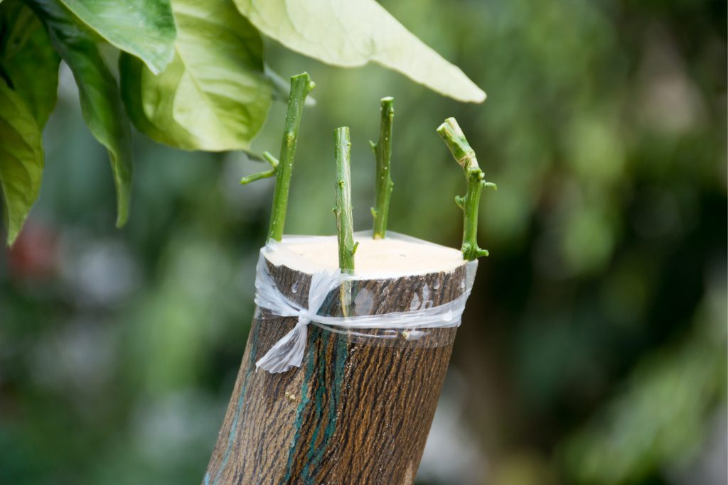Grafting Of Citrus Trees Shutterstock 615677489 Citrus